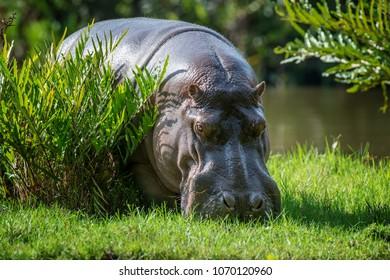 Hippo (Hippopotamus amphibius) in National park of Kenya, Africa