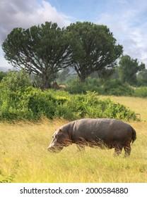 Hippo (Hippopotamus amphibius) outside the pool, Queen Elizabeth National Park, Uganda