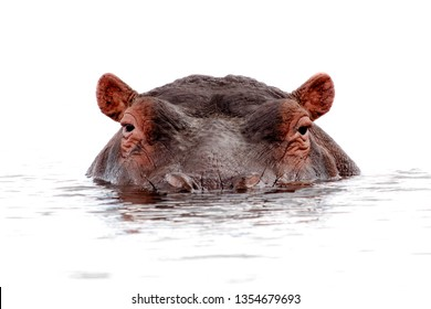 Hippo isolated lurking out of water close