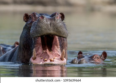 Hippo in a lagoon in the Okavango Delta, Botswana