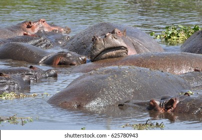 Hippo leaning on other hippo