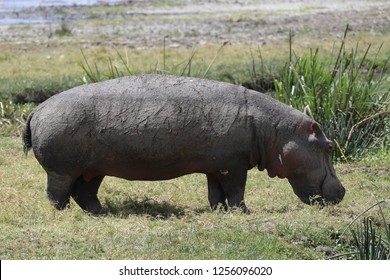 Hippo with lion attack scars
