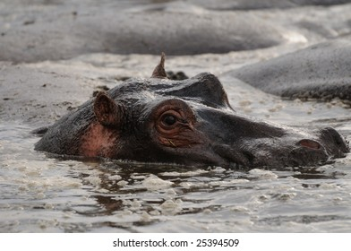 Hippo looking at you