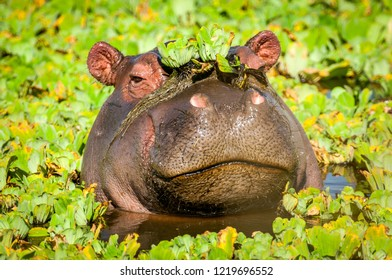 Hippo looks out of the water