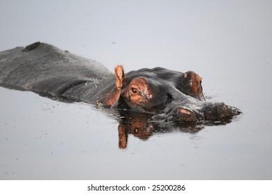 Hippo lying in Pool