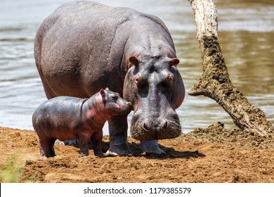 Hippo mother with her baby in the Masai Mara National Park in Kenya