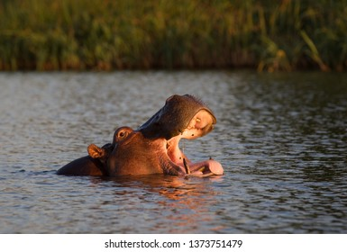 Hippo  mouth in the Tana Lake in Ethiopia