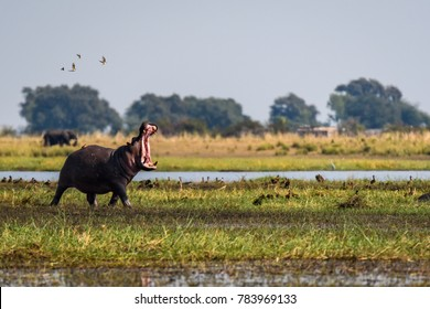 Hippo, with mouth wide open, running and dancing with small birds on the bank of the Chobe River, Botswana, Africa