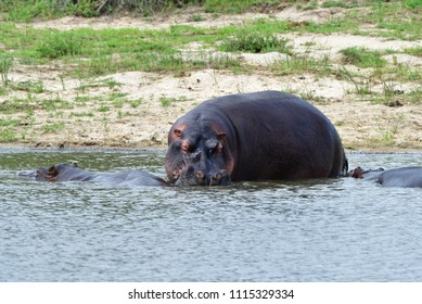 hippo near Transport Dam in Kruger National park in South Africa