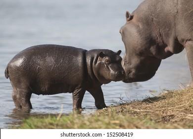 Hippo near water