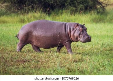 Hippo on the run on land in the Masai Mara National Park in Kenya (Hippopotamus amphibius)