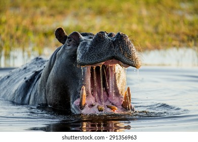 Hippo open his mouth in the pond. An excellent illustration. Botswana. Okavango Delta.Big plan.
