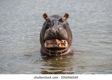 Hippo open mouth isolated in water portrait close up, hippopotamus in river in Africa. Safari animals, game drive in Africa. Travel journey in South Africa, Botswana and Namibia.