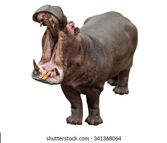 Hippo opening jaws on white background, isolated