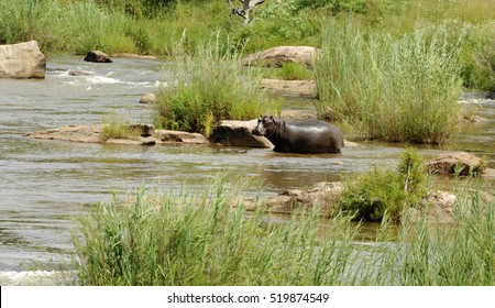 Hippo Resting In A River In Africa