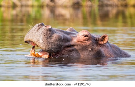 Hippo in a river in the Caprivi Strip, Namibia