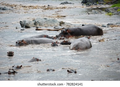 Hippo school at Seronera river Serengeti, Tanzania, Africa