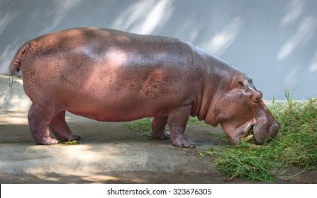 Hippo side view. Hippo in a zoo eating grass