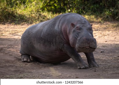 Hippo sitting in dirt looking at camera