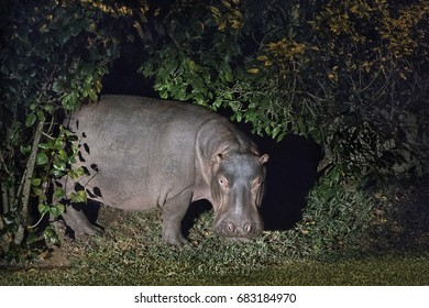 Hippo, South Africa