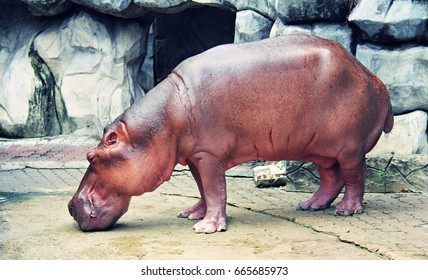 Hippo is standing on the floor.