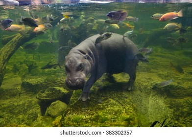 Hippo underwater, pygmy hippopotamus in water through glass, Khao Kheo open zoo, Thailand, animal wild life