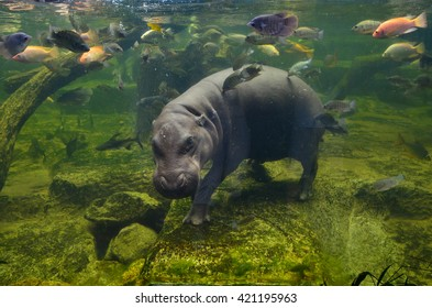 Hippo underwater, pygmy hippopotamus in water through glass, Khao Kheo open zoo, Thailand