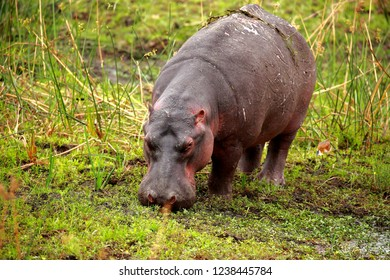 Hippo walking on river bank and grazing grass in South Africa during day light