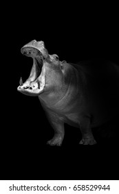 hippo walking out of the dark and into the light, africa wildlife wallpaper