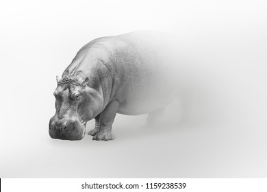 Hippo wildlife art collection white edition, animal grayscale wallpaper