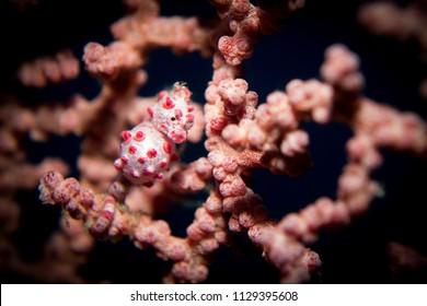 A hippocampus bargibanti pygmy seahores in its host gorgonion sea fan coral. Taken in komodo national park, indonesia.