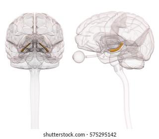 Hippocampus Brain Anatomy - 3d illustration