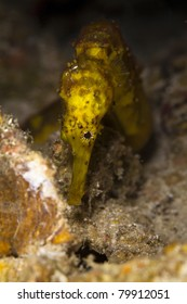 Hippocampus, Tiger tail Seahorse in the Andaman Sea, Thailand. Syngnathidae family.