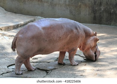 Hippopotamidae in chiangmai zoo, Thailand.