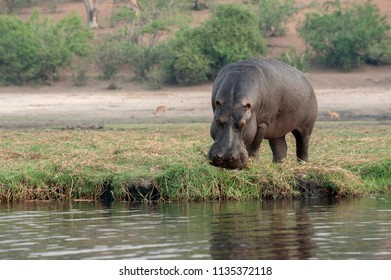 Hippopotamus, adult hippo grazing on the river bank of the Chobe River, Botswana.