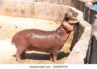 Hippopotamus, adult hippo in zoo park