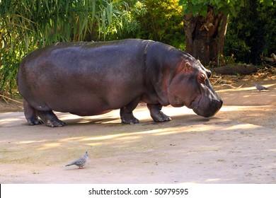 Hippopotamus amphibius.  Adelaide Zoo, Australia