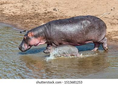 Hippopotamus (Hippopotamus amphibius) adult female with young, Mara River, Maasai Mara National Reserve, Kenya
