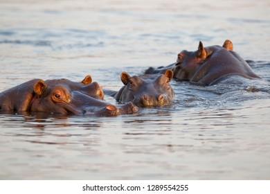 Hippopotamus (Hippopotamus amphibius), Chobe river, Chobe National Park, Botswana.