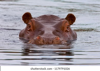 Hippopotamus ( Hippopotamus amphibius) in the Chobe River in northern Botswana, Africa.
