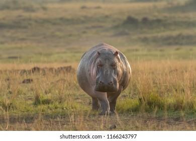 Hippopotamus (Hippopotamus amphibius) - Heading Home