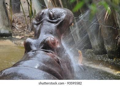 Hippopotamus (Hippopotamus amphibius) with his mouth open wide.