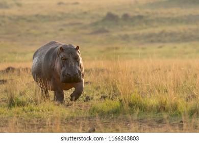 Hippopotamus (Hippopotamus amphibius) - Homeward Bound