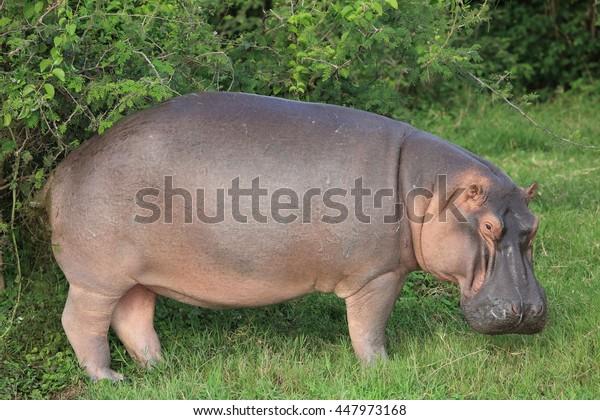 Hippopotamus (Hippopotamus amphibius) in Queen Elizabeth National Park, Uganda