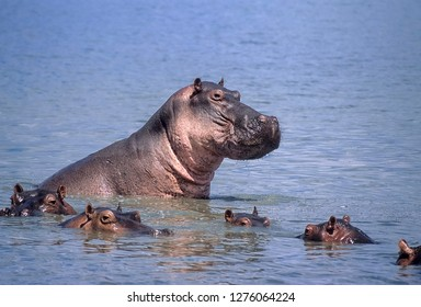 Hippopotamus (Hippopotamus amphibius), Selous Game Reserve, Morogoro, Tanzania, Africa