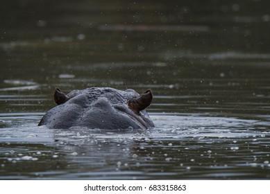 HIPPOPOTAMUS AMPHIBIUS, South Africa