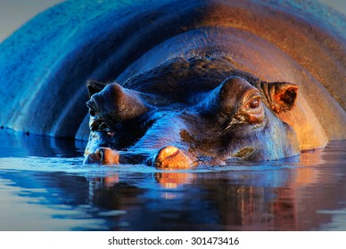 Hippopotamus (Hippopotamus amphibius) at sunset and low angle - Kruger National Park (South Africa)