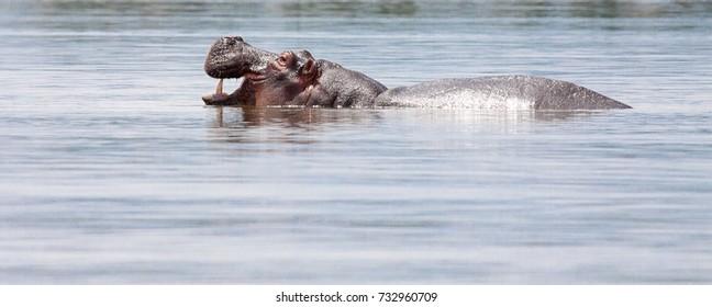 Hippopotamus (Hippopotamus amphibius) in water with mouth open