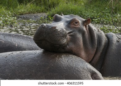 A hippopotamus appears to smile as it rests its head on the back of a herd mate in Lake Manyara National Park, Tanzania.