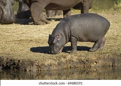 Hippopotamus baby walking on river bank; hippopotamus amphibius